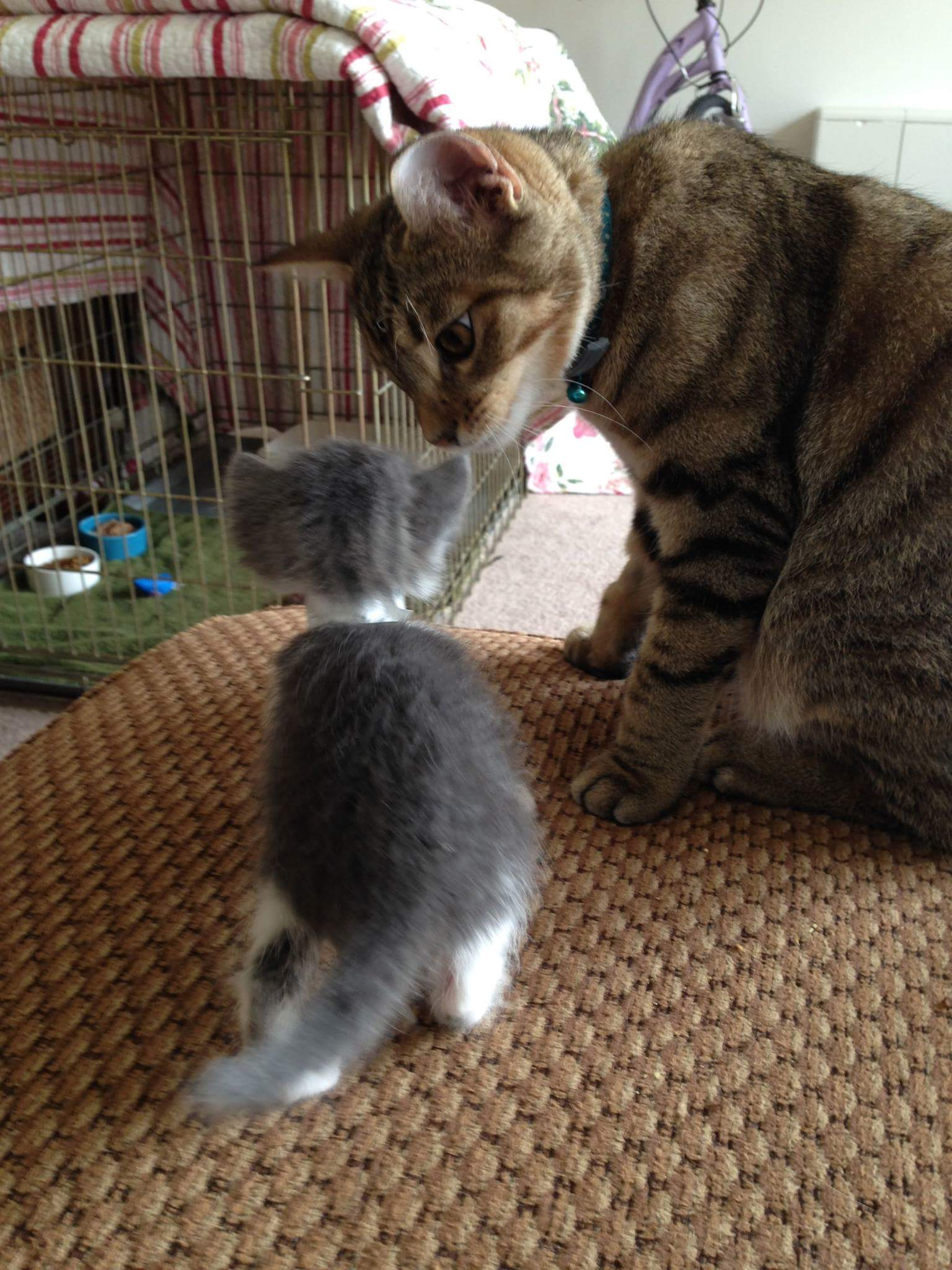 Introducing a New Kitten Friendship Hospital for Animals