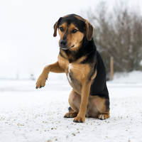 dog-holding-foot-up-in-snow