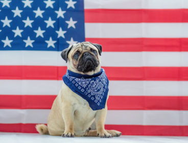 Pug dog sitting in front of american flag