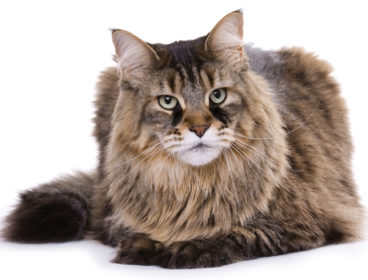 Maine Coon cat with tear stains