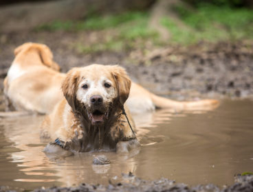 Golden Retriever in a puddle.