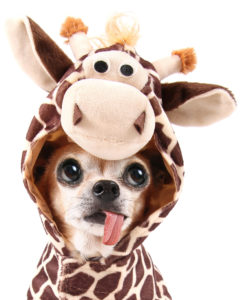 Chihuahua in a giraffe costume