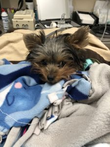 yorkie in blankets being treated for dialysis