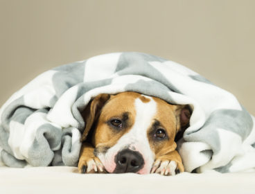 dog under blanket face peeking out