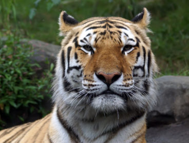 Amur Tiger at the Bronx Zoo