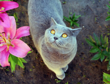 Gray shorthair with yellow eyes looking up from garden next to to lilies