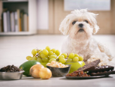 Little,White,Maltese,Dog,And,Food,Ingredients,Toxic,To,Him